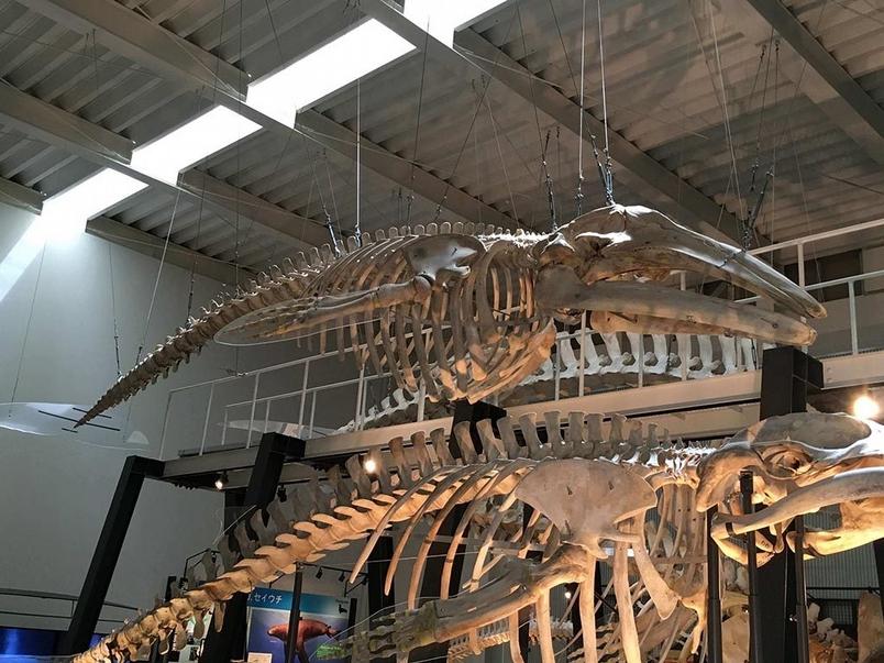 台灣的鯨魚化石告訴了我們什麼?(上)