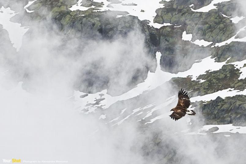 阿爾卑斯山上的金鵰