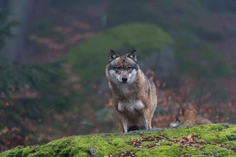 有匹狼從核輻射禁區跑了出來,牠會傳播突變嗎?