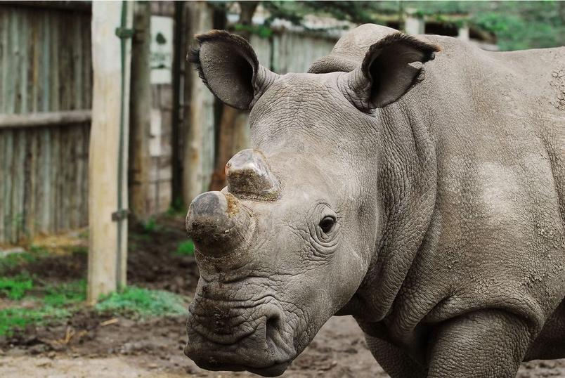 稀有白犀牛死亡,物種幾近滅絕
