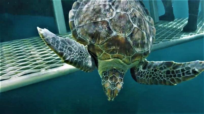 在休養兩年後 綠蠵龜「基瓦」與「奧斯卡」終於可以回家囉!