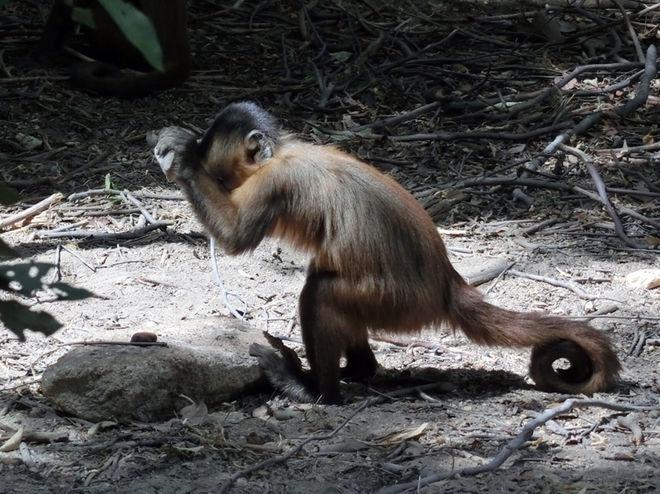 無意間敲打出石器的巴西捲尾猴