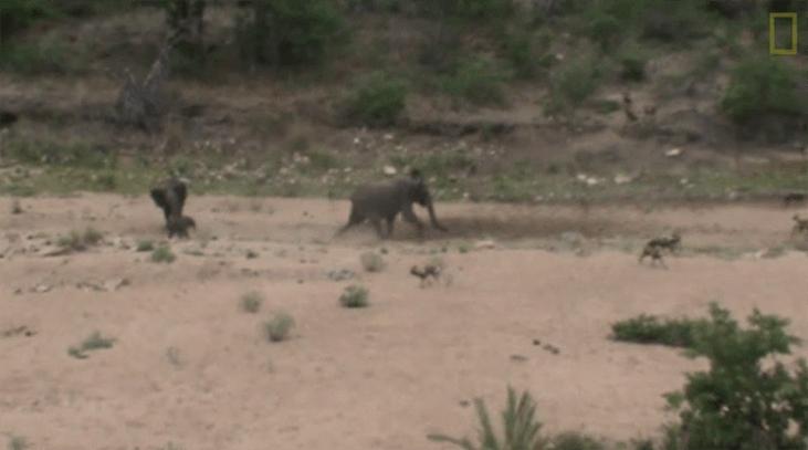 母象從野犬群中救出小象