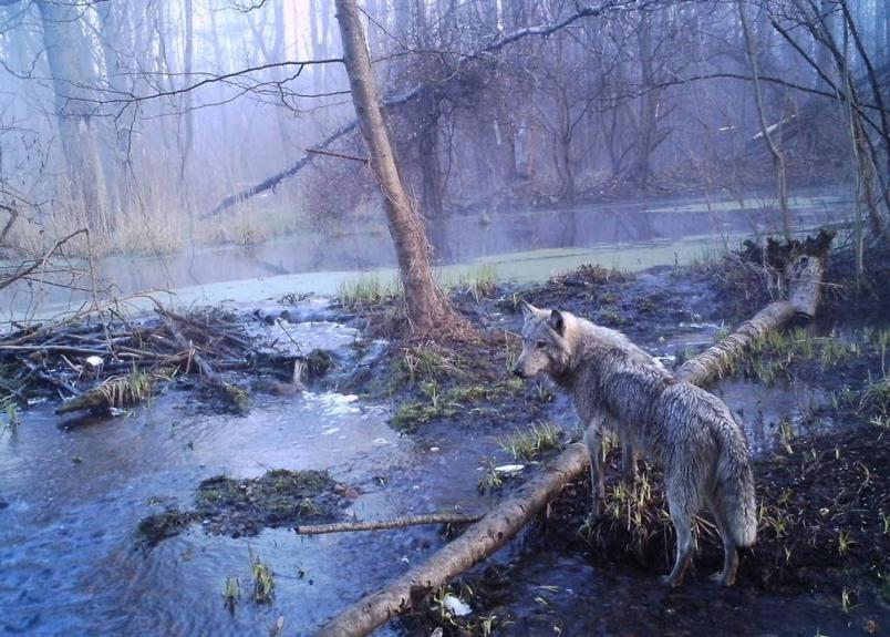 動物在人跡罕至的車諾比與其他地方蓬勃發展