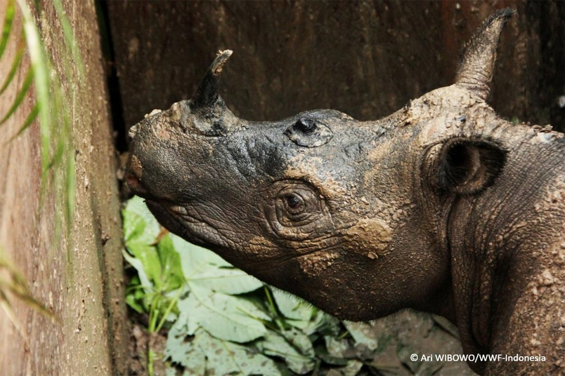 罕見蘇門答臘犀牛40年來首度現身