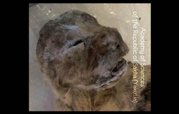 西伯利亞發現冰凍的穴獅幼獸