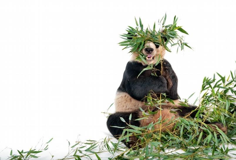 大貓熊的求愛策略:有以待之