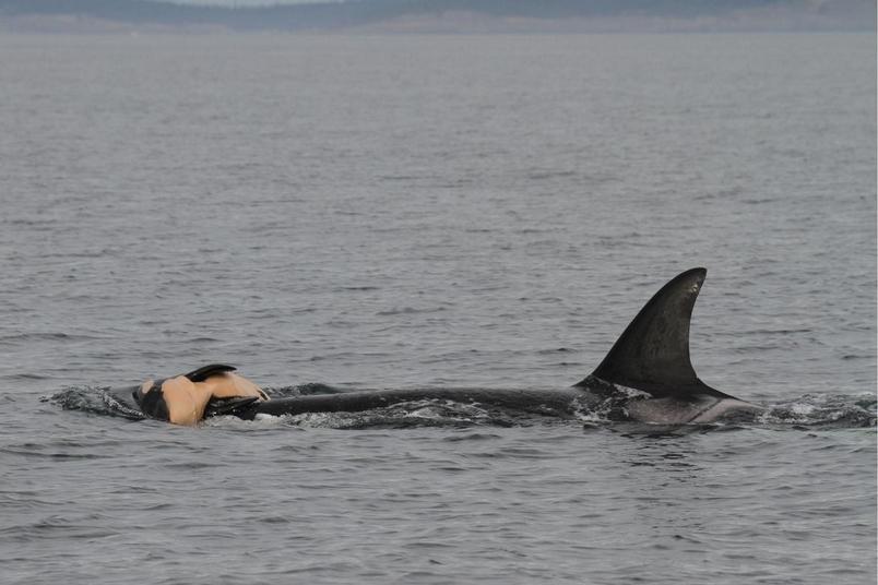 鯨魚也懂守喪