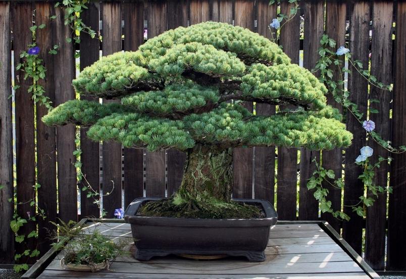 一盆平安度過廣島核爆的世紀盆栽
