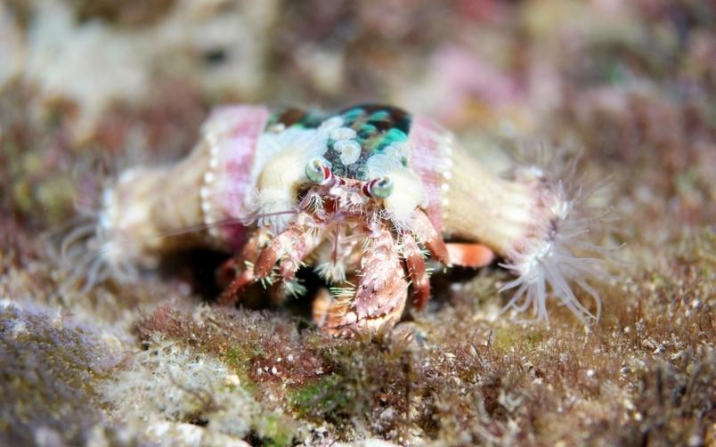 海葵寄居蟹