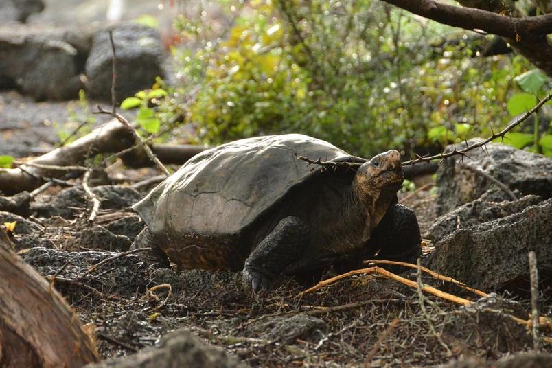 上一次有人確定見到活的費爾南迪納象龜是在1906年。PHOTOGRAPH COURTESY GALAPAGOS NATIONAL PARK DIRECTORATE