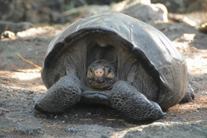 這隻雌龜估計已經有100歲了。象龜可以活到200歲,所以牠很有希望能協助這個物種復元。PHOTOGRAPH COURTESY GALAPAGOS NATIONAL PARK DIRECTORATE