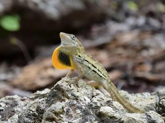 對面的「女孩」看過來—一展開喉囊撩妹的條紋安樂蜥(<i>Anolis lineatus</i>)圖片來源:Wikmedia Commons