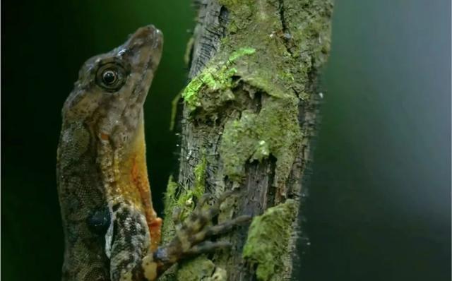 溪安樂蜥(<i>Anolis oxylophus</i>) 。圖片來源:Smithsonian- Channel