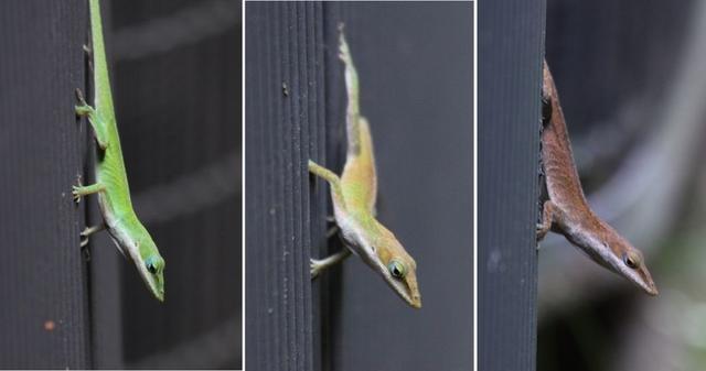 綠安樂蜥(<i>Anolis carolinensis</i>),既懂壁虎的爬牆功,又會變色龍的偽裝術。圖片來源:Wikmedia Commons