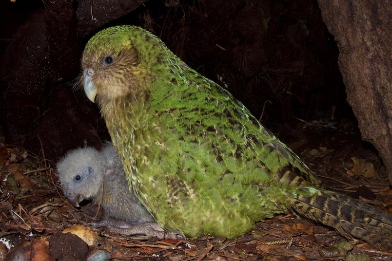 在紐西蘭科德菲什島(Codfish island,毛利語為Whenua Hou),一隻雌性鴞鸚鵡與牠的幼鳥坐在一起。這些特別的鸚鵡是無法飛行的夜行性動物,而且處於極危狀態(critically endangered),全世界僅存147隻成鳥。 PHOTOGRAPH BY ANDREW DIGBY