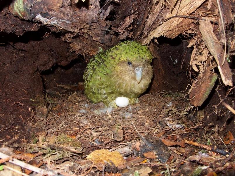 雖然保育工作十分積極,但鴞鸚鵡特別難以復育,因為牠們每隔幾年才會繁殖,而且即使牠們交配了,超過一半的蛋也是未受精的。 PHOTOGRAPH BY ANDREW DIGBY