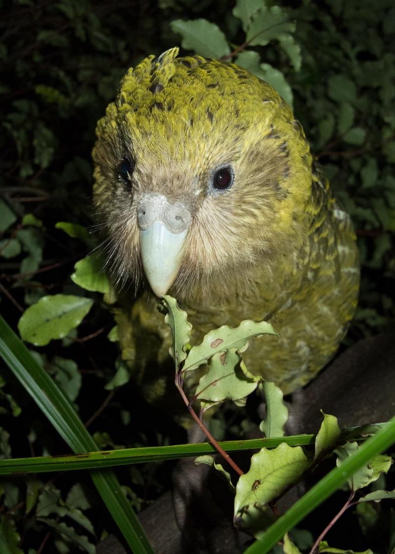 科學家正發揮創意,拯救紐西蘭這種不能飛的呆萌鸚鵡鴞鸚鵡已被轉移到紐西蘭外海三座無掠食者的島上,但隨著2019年被訂為繁殖季創紀錄的一年,牠們可能很快就需要新的領地。 PHOTOGRAPH BY ANDREW DIGBY