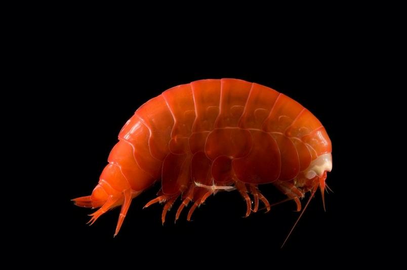 這隻狀似蝦子的微小深海端足類動物,把微小的塑膠碎片和微纖維吃下肚。 PHOTOGRAPH BY DAVID SHALE, MINDEN PICTURES