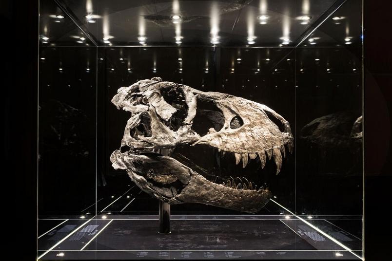 這個近乎完整的深黑色顱骨,是歐洲展出的最完整霸王龍標本,標本的個體還被取了個小名:Tristan Otto。這具標本的三百多塊骨頭中有170塊保存了下來,這具私人所有的骨骼標本極具科學價值,目前存放在德國的柏林自然博物館。這具12公尺長的化石於2010年在蒙大拿州著名的白堊紀晚期「地獄溪地層」所發掘,挖掘和準備工作歷時四年。