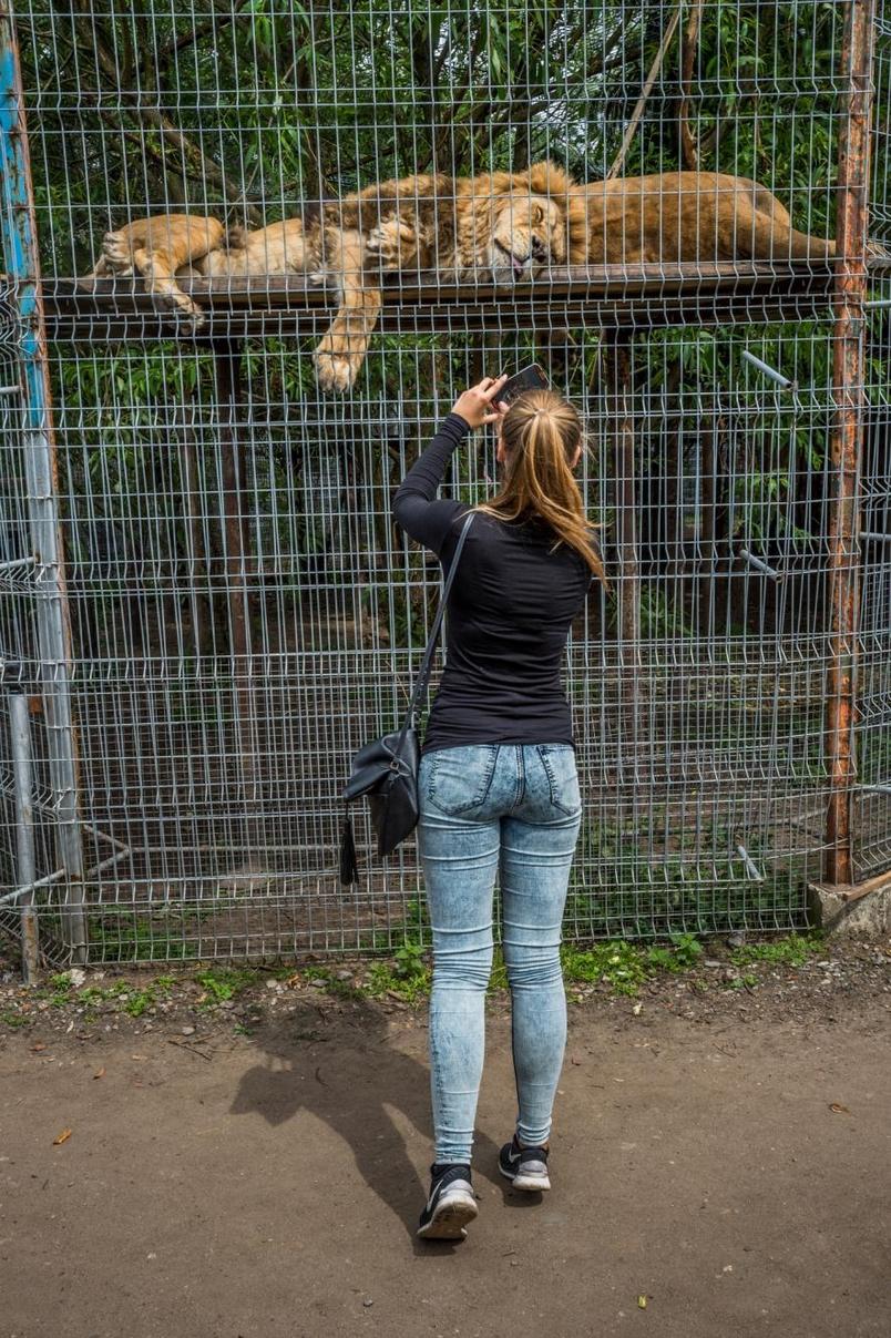 立陶宛一家動物園內,一位女子為籠內睡著的獅子拍照。電視與社群媒體上滿滿得都是人們親身與大貓互動的畫面,這些有爭議的互動可能帶給人們「大型掠食者其實沒那麼危險」的錯誤觀念。PHOTOGRAPH BY JO-ANNE MCARTHU