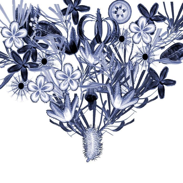這幅X光影像拼貼展現了多種澳洲特有植物,包括班克西木和桉樹。杜荷提說,藍色也部分象徵著低溫保存的處理過程,而低溫保存則是種子保存理論的核心。PHOTOGRAPH BY DORNITH DOHERTY