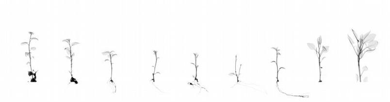 杜荷提用她在科羅拉多州科林斯堡國家遺傳資源保存中心(National Center for Genetic Resources Preservation)所拍攝的抗疫病馬鈴薯無性繁殖苗的X光影像製作出這幅數位拼貼影像。PHOTOGRAPH BY DORNITH DOHERTY