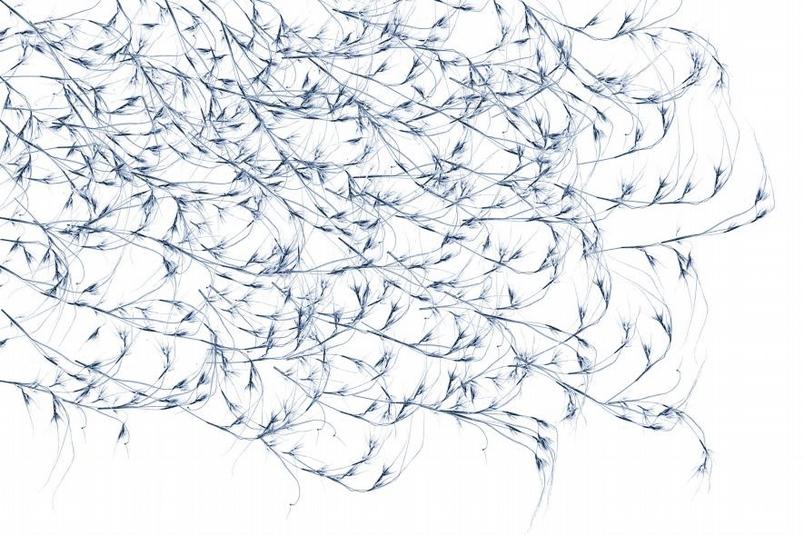 製作這幅影像時,杜荷提先拍攝了阿拉伯黃背草(kangaroo grass, Themeda triandra)細小葉片樣本的X光影像,再加以複製、仔細拼貼出畫面,象徵的是這種植物的播遷。PHOTOGRAPH BY DORNITH DOHERTY