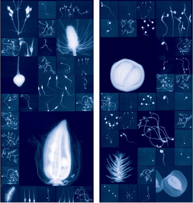 左:杜荷提以古代珍奇屋(cabinets of curiosity)的架構為靈感,創造出這幅野生植物與栽培種的拼貼影像。植物全都來自英國的千禧年種子庫(Millennium Seed Bank)。千禧年種子庫的任務,是希望在2020年時能蒐集到全世界25%的植物種類樣本。