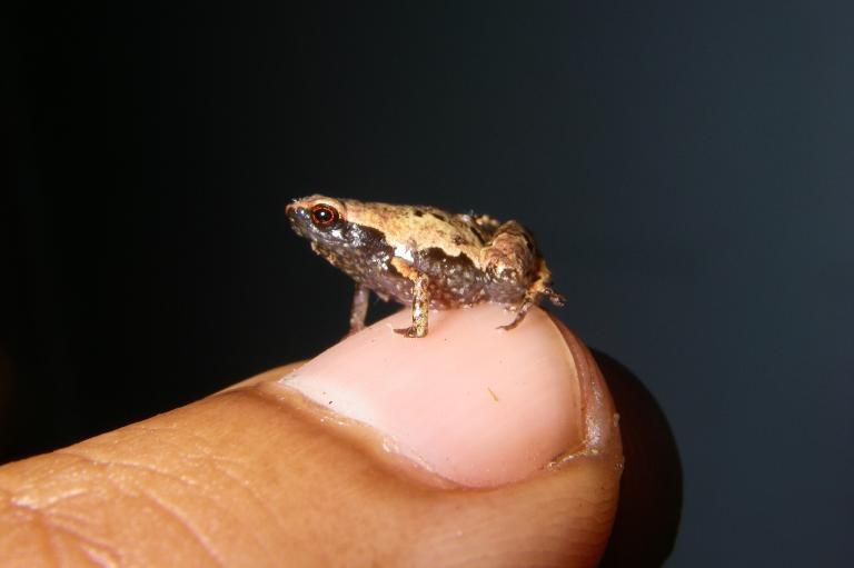 成年的雄性最小迷你蛙。這種蛙也是全世界數一數二小的蛙,坐在人類指甲上還綽綽有餘。PHOTOGRAPH BY DR. ANDOLALAO RAKOTOARISON