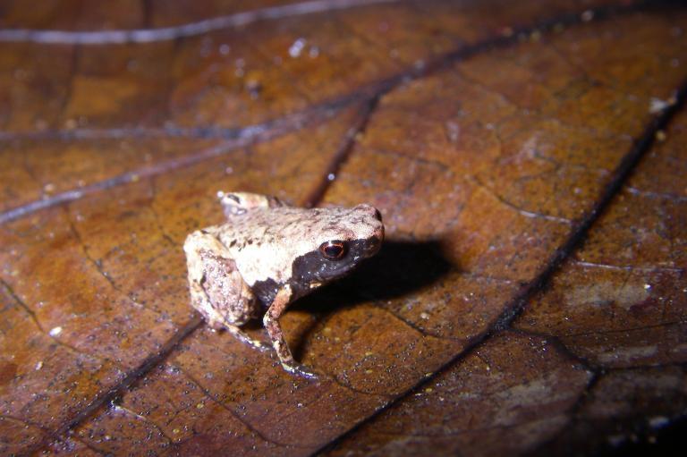 「最小迷你蛙」(<i>Mini mum</i>)生活在馬達加斯加東部沿岸的落葉層裡。 PHOTOGRAPH BY DR. ANDOLALAO RAKOTOARISON