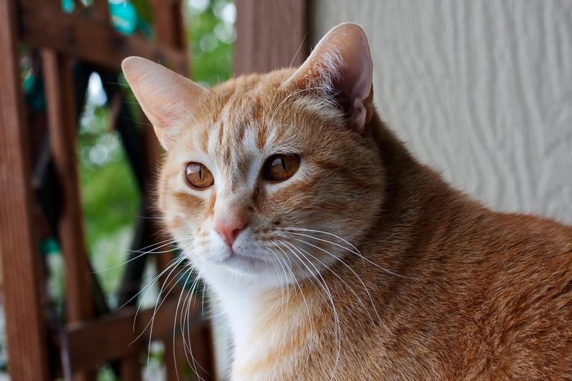 貓會把自己的名字跟諸如食物或摸摸之類的獎賞連結在一起。PHOTOGRAPH BY MARC MORITSCH, NAT GEO IMAGE COLLECTION