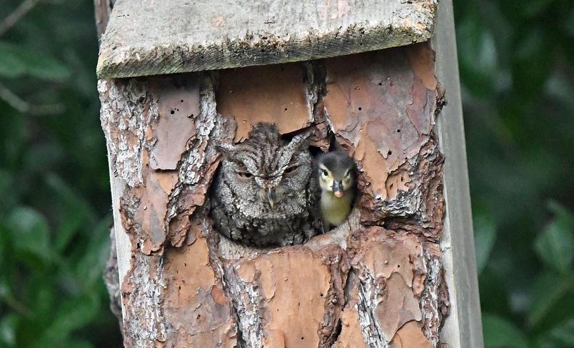業餘攝影師羅莉.沃爾夫(Laurie Wolf)在她佛羅里達州朱庇特(Jupiter)的後院裡拍下這個畫面──一隻小鴨與一隻貓頭鷹共享巢穴。PHOTOGRAPH BY LAURIE WOLF