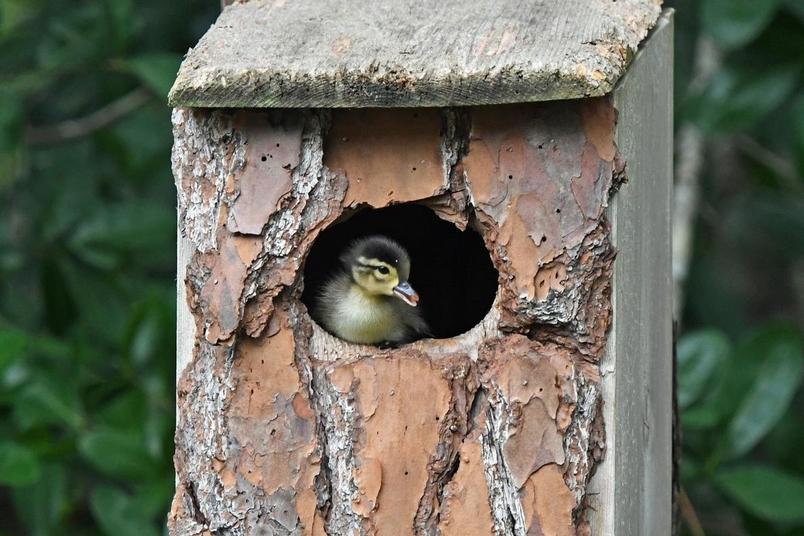 小木鴨非常早熟,牠們小小年紀便能夠獨立生存。PHOTOGRAPH BY LAURIE WOLF