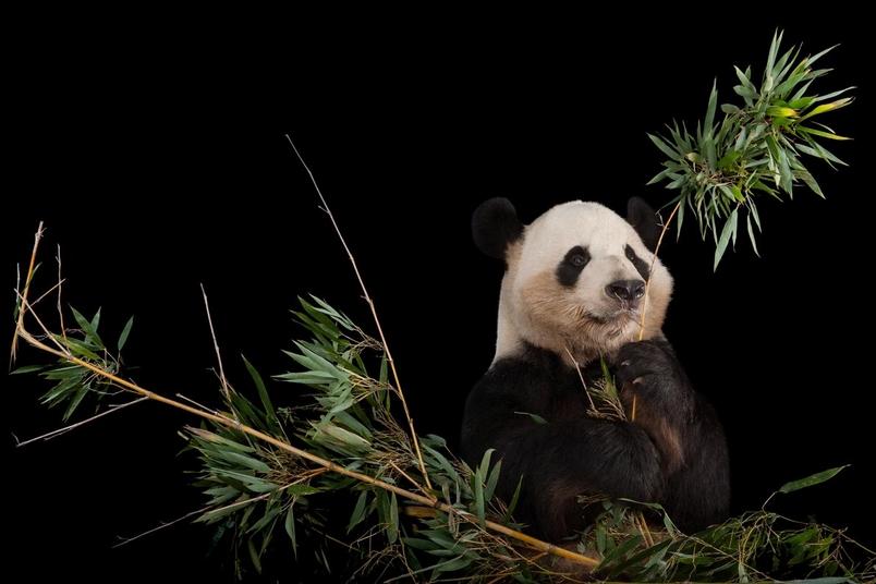 大貓熊的數量增加了很多,足以讓IUCN紅皮書在2016年把大貓熊移出「瀕危」名單,重新列入「易危」等級。PHOTOGRAPH BY JOEL SARTORE, NATIONAL GEOGRAPHIC PHOTO ARK