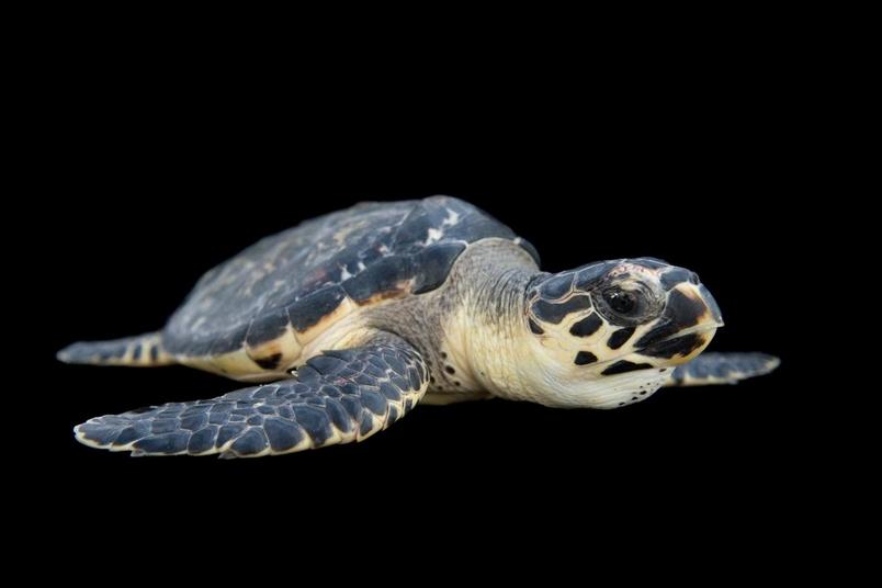 玳瑁是IUCN紅皮書中的嚴重瀕危物種。龜殼的交易、尋找海龜蛋當食物,還有珊瑚礁遭到破壞,都是造成海龜數量下滑的原因。PHOTOGRAPH BY JOEL SARTORE, NATIONAL GEOGRAPHIC PHOTO ARK