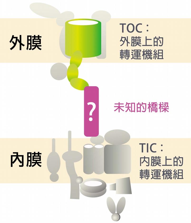 過去科學家已經找到內、外膜上的轉運機組的許多成員,實驗上也證實兩機組應該是相連。怎麼證實的?科學家從豌豆苗分離出葉綠體,利用和膜上機組成員對應的抗體,將膜上的機組成員拉下來,看看能不能把內外膜機組成員一起拉下來。李秀敏解釋:「用抗體從外膜拉,TOC 和 TIC 會一起被拉下來,用抗體從內膜拉,兩者也一起被拉下來,所以知道彼此間一定有一座橋相連。」然而科學家始終找不到那座「橋」。 資料來源│李秀敏 圖片重製│林洵安