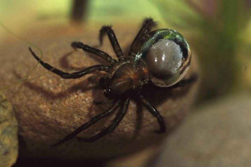 潛水鐘蜘蛛(<i>Argyroneta aquatica</i>)在腹部攜帶的空氣,使牠有了銀白色的外觀。PHOTOGRAPH BY HEIDI AND HANS-JURGEN KOCH, MINDEN PICTURES/NAT GEO IMAGE COLLECTION