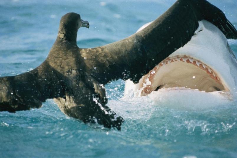 在夏威夷的法國軍艦環礁(French Frigate Shoals),一頭鯊魚緊逼一隻信天翁幼鳥。PHOTOGRAPH BY BILL CURTSINGER, NAT GEO IMAGE COLLECTION