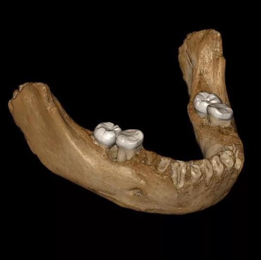 研究的下頜骨化石復原圖。圖片來源:Jean-Jacques Hublin, MPI-EVA, Leipzig