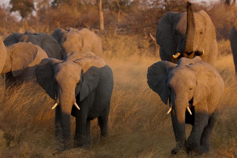 因為象牙的關係,非洲的大象一直遭到盜獵。新資料顯示,光是提升執法強度不足以解決這個問題。想保護地球上體型最大的陸生哺乳動物,也必須設法解決貧窮問題。PHOTOGRAPH BY BEVERLY JOUBERT, NAT GEO IMAGE COLLECTION