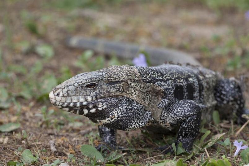 這是一隻在原生地巴西拍攝的南美蜥(Argentine tegu,又稱泰加)。南美蜥在美國已是熱門的寵物,但脫逃或放生的個體也成了美國野外的入侵物種。PHOTOGRAPH BY BERND ROHRSCHNEIDER, MINDEN PICTURES