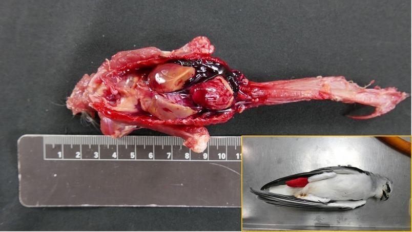 2016年因骨折被送往桃園鳥會的黑翅鳶,死後解剖發現體內廣泛出血,經檢驗肝臟中老鼠藥濃度高達476 ppb (含可滅鼠和雙滅鼠)。這隻黑翅鳶如果沒送檢驗,死因可能會被判斷為因骨折導致內出血死亡,忽略了老鼠藥的毒害。