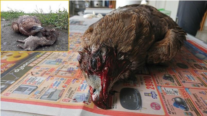2018年在屏東農地發現的死亡黑鳶,無外傷但口腔大量滲血,經檢驗肝臟中老鼠藥濃度為26 ppb (含可滅鼠和撲滅鼠)
