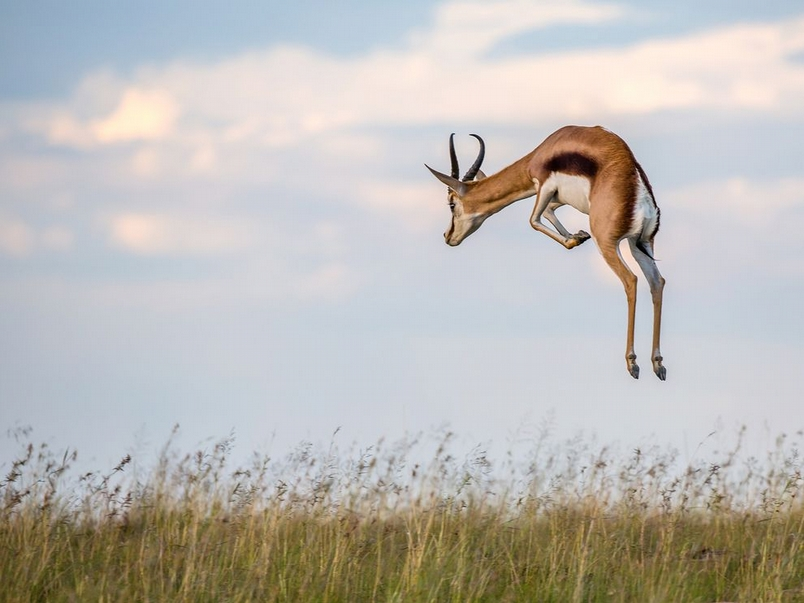 一躍而起:南非跳羚