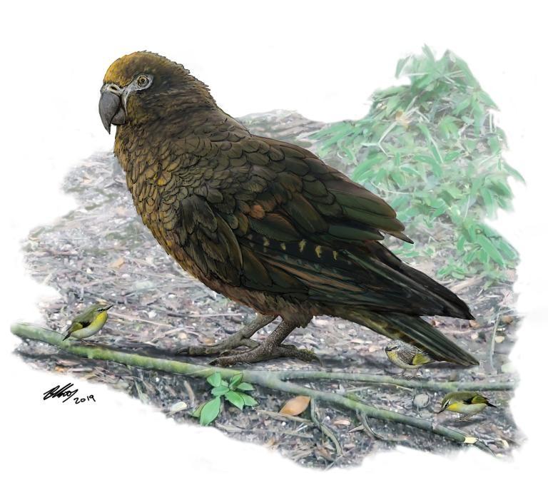 巨型鸚鵡「海克力士鸚鵡」(<i>Heracles inexpectatus</i>)在1600萬至1900萬年前存活於如今的紐西蘭。研究人員估計,這種巨型鸚鵡的體重可能超過7公斤。在這隻鸚鵡腳邊的是稱為「<i>Kuiornis</i>」的小型刺鷯,當時也是紐西蘭的原生鳥類。ILLUSTRATION BY BRIAN CHOO