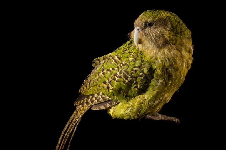 極度瀕危的鴞鸚鵡提供了一些線索,有助於了解巨型鸚鵡可能的食物及移動方式。如今野外僅存活189隻鴞鸚鵡,高於1995年的低值51隻。PHOTOGRAPH BY JOEL SARTORE, NATIONAL GEOGRAPHIC PHOTO ARK