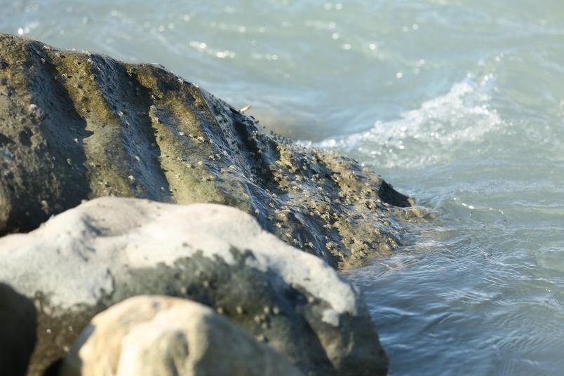 集體從河口上溯的字紋弓蟹苗,從居民口述中得知其數量已不如從前。圖片提供:洄瀾風生態有限公司
