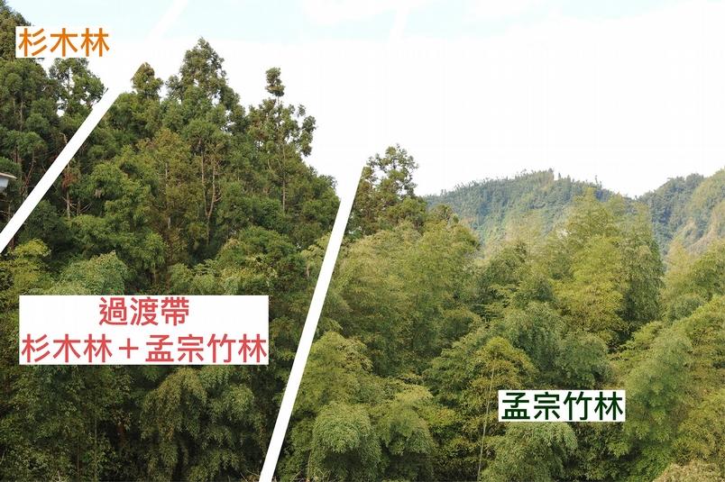 孟宗竹林侵入鄰近的杉木或闊葉林,是臺灣山區常見的景象。資料來源│邱志郁(溪頭羊彎) 圖說重製│廖英凱、張語辰