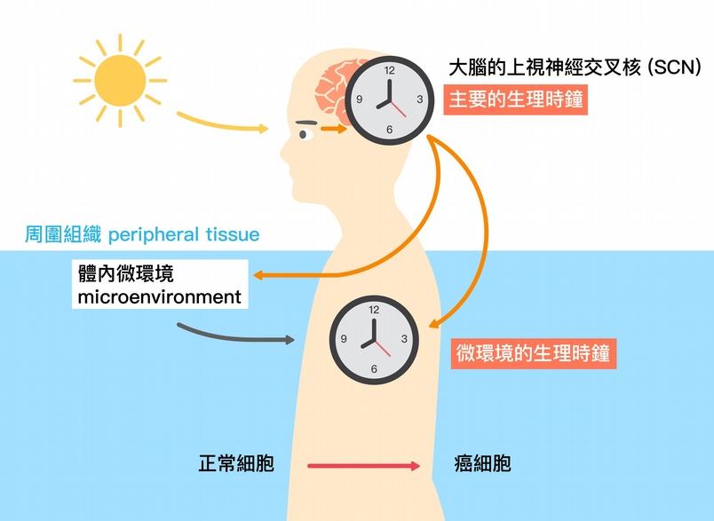 光照影響大腦的主要生理時鐘,而大腦的生理時鐘又會與體內微環境的生理時鐘交互影響。圖片來源│黃雯華 圖說重製│林承勳、張語辰